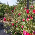 冬は、花数は少ないですが、色合いと香りをお楽しみください。60種350株のバラが咲き誇ります♪