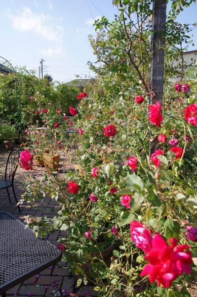 60種350株のバラが咲き誇ります♪