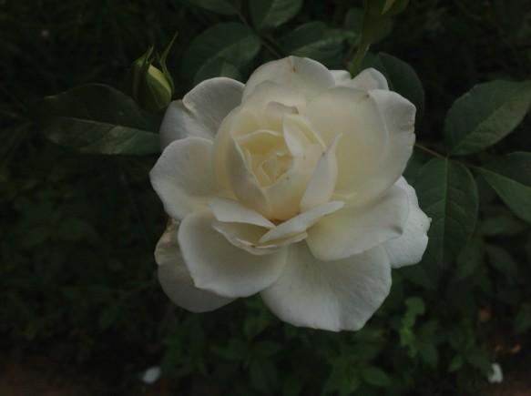 純白の名花「アイスバーグ」が見頃を迎えています♪
