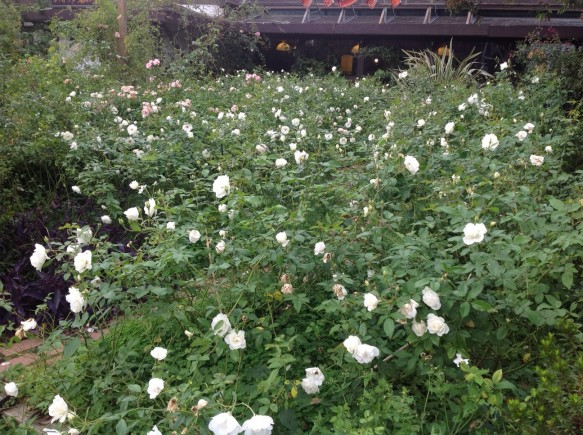 次々開花♪純白のアイスバーグが見頃です♪