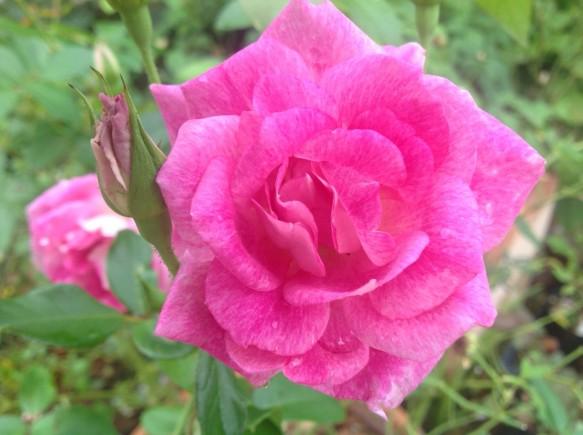 ブリリアントピンクアイスバーグ♪蕾は、まだまだあります♪