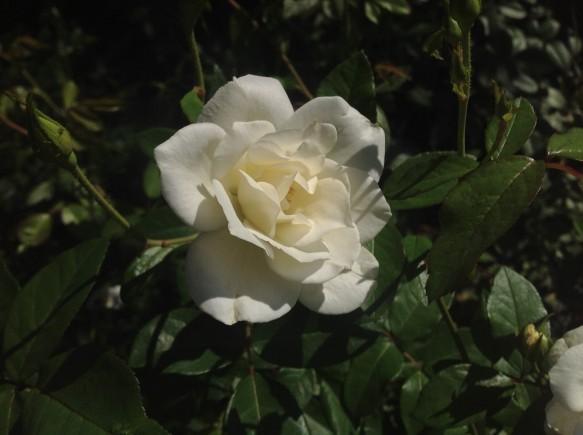 純白のバラ「アイスバーグ」