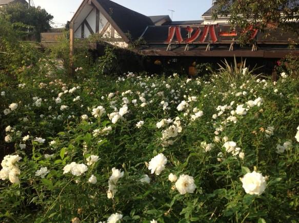秋バラ最盛期♪ 11月上旬からは、冬バラ鑑賞会を実施します♪ ご期待下さい♪