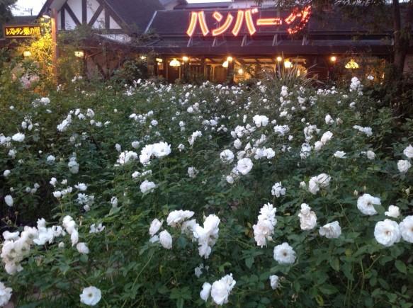 このアイスバーグのエリアは、春バラのシーズンの開花量と同等で維持管理させて頂いております♪ 4番花、5番花の姿をお楽しみ下さい♪