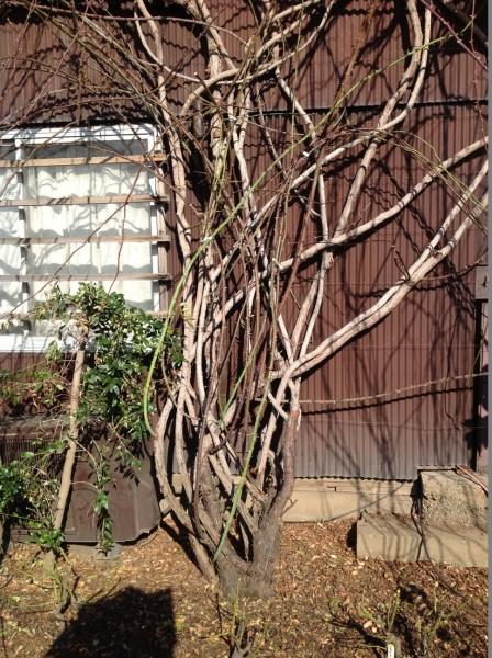 日本一長いつるバラのカーテンの巨株元♪