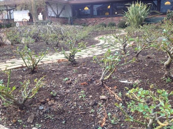 アイスバーグの群生エリア(250本)の 葉の展開が始まっています♪ 開花が楽しみです♪