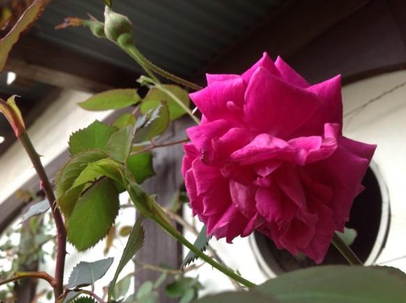 4月8日現在、バラの開花を確認! 28年度1番花は、グルスアンテプリッツでした♪ 開花宣言とはいきませんが、早咲き品種の蕾は順調そのものです♪