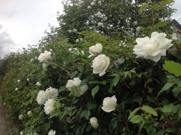今年は暖冬と誘引作業を早めた影響で、 中咲き品種のつるアイスバーグの開花が本格的になってきました♪