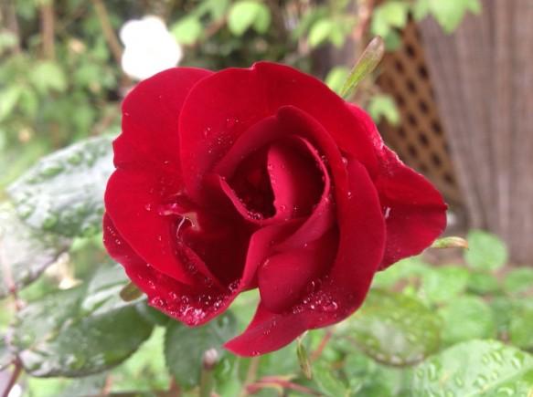 真っ赤な平咲き♪ダスキーメイデン♪