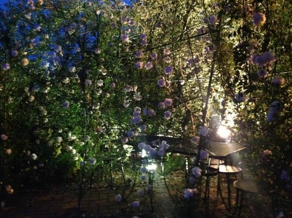 ※4月20日の早咲き品種 ロサキネンシスアルバのライトアップ♪