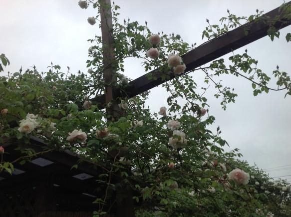 雨でも傘をさして、バラを鑑賞する方が多いです♪