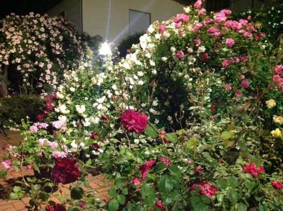 バラがより美しく鑑賞できる時間はディナータイム!