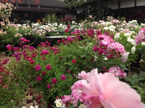 ミニバラ~小輪~中輪~大輪まで! 小規模ながら花数は県内屈指!