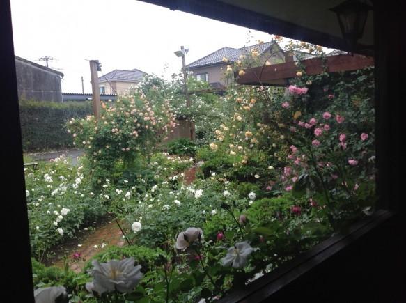 雨や風が強い日でもバラの鑑賞を楽しめます♪