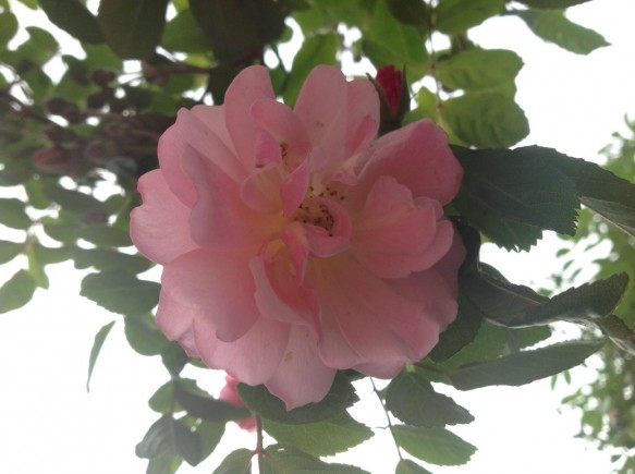 コーネリア開花!