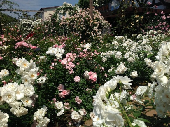 バラが咲き誇り、バラの楽園となっております!!!