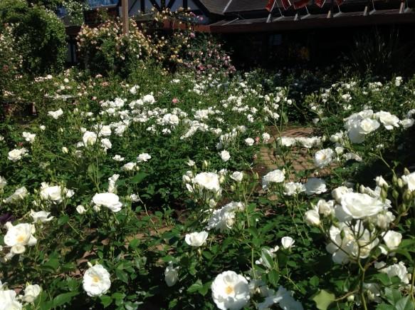 純白のカーペット♪アイスバーグ開花!