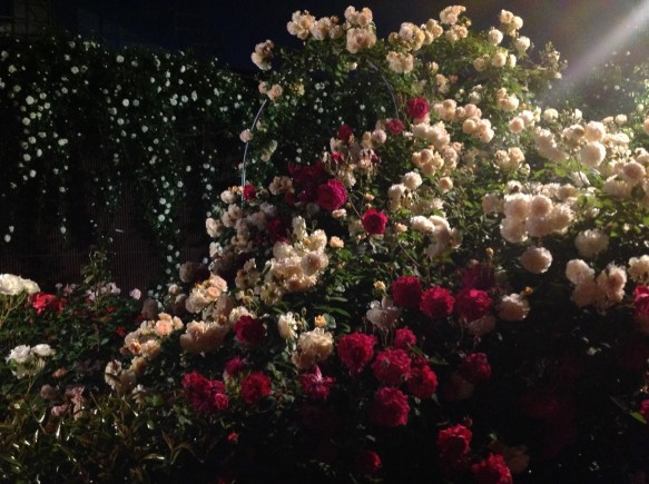 色鮮やかなバラが咲き誇ります!