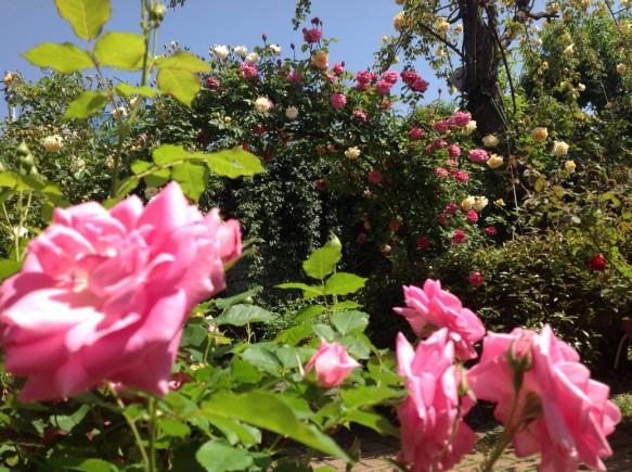バラの香りを存分に、お楽しみください!