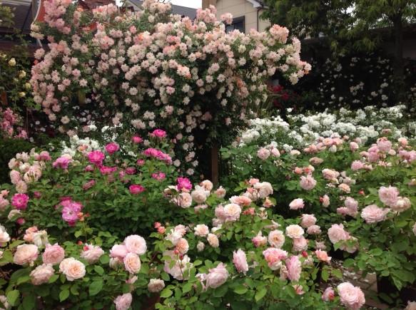 今年は花持ちが良好なため、5月中は見頃です!!