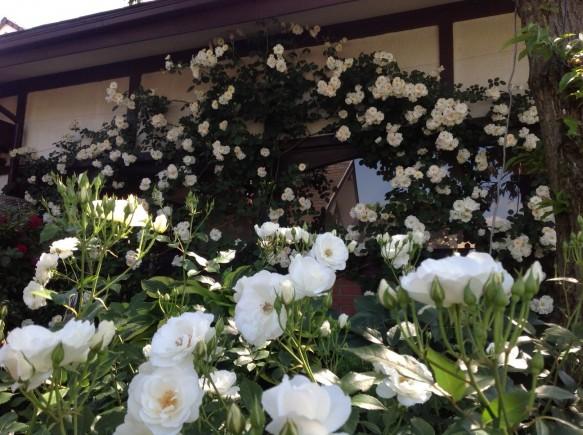 純白系バラは満開!