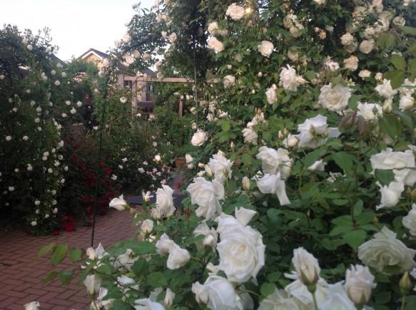 バラが美しく見えるサンセット♪