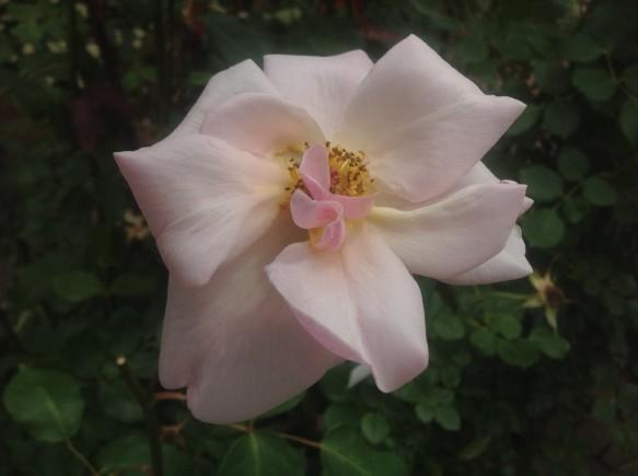 ビショップダーリントンが開花!