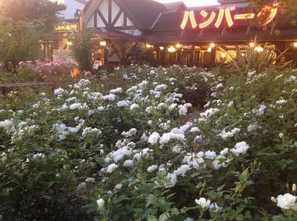 神奈川の観光素材! バラの純白のカーペット!