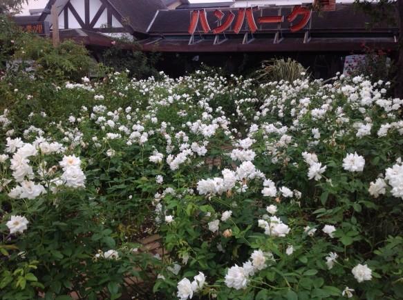 アイスバーグ開花!見頃・満開!