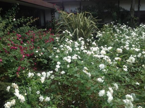 アイスバーグ系のバラが咲き誇ります!