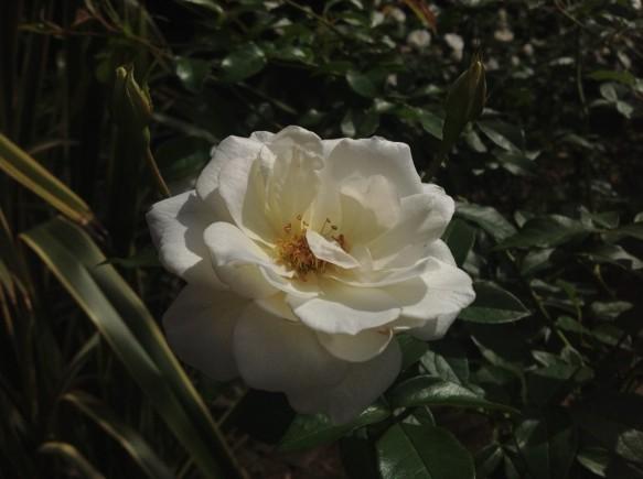 一輪撮り!白バラも、美しいですね!