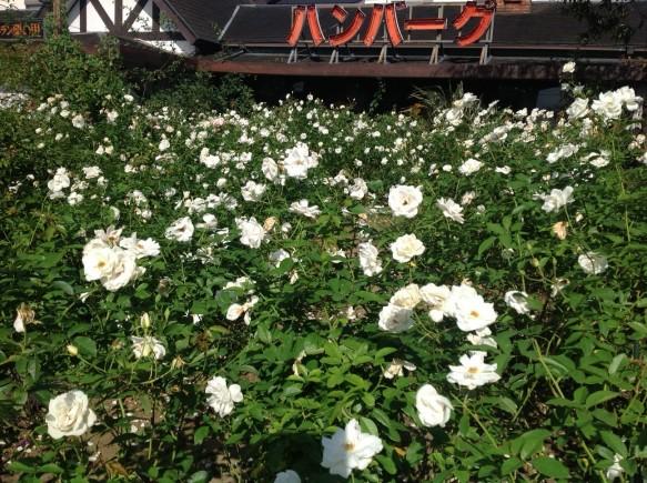 純白のバラ!アイスバーグ!