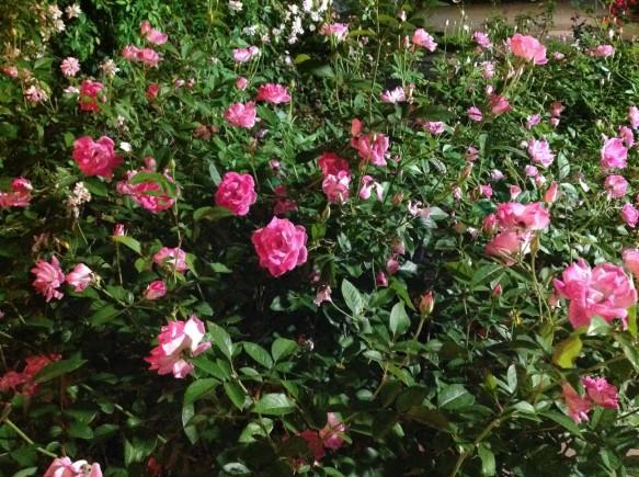 ピンクのバラもライトアップで、パワーアップ!