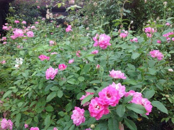 ピンクアイスバーグ!4番花!