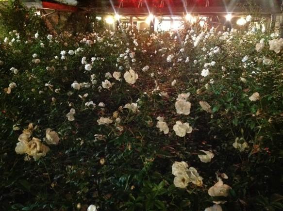 冬バラ!60種約400株!色が濃く、香り高い!