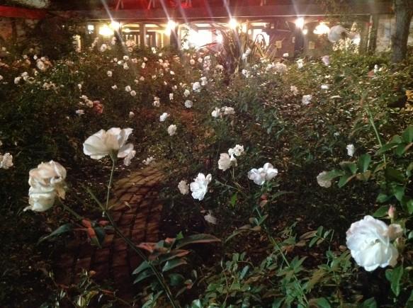 冬バラは、秋バラよりも色鮮やかで、香り高い。 咲かせるのも至難の技!