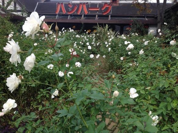 日照時間が短く、気温も低いため、咲かせるのが難しいですが、 咲いた時の嬉しさは百倍です!