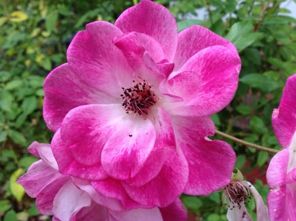 4~5番花♪ピンクアイスバーグ!