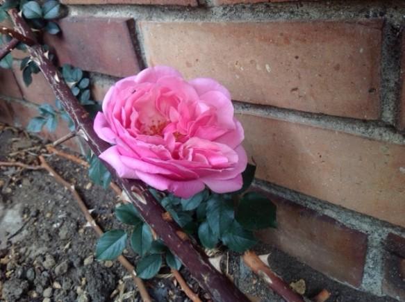 メルヘンランドの開花が始まりました!