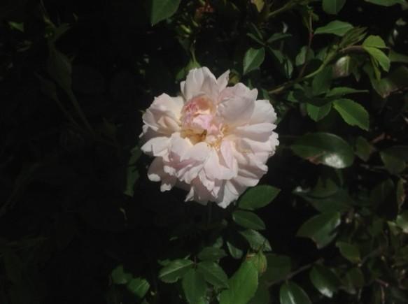 早咲き品種! ロサキネンシスアルバが咲き出しました!