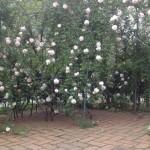 ロサキネンシスアルバは順調に開花!
