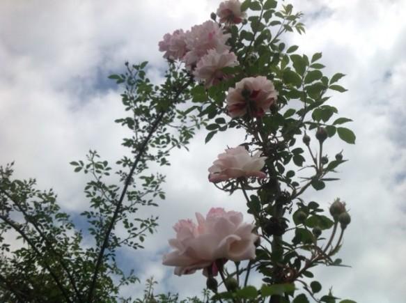 ロサキネンシスアルバも順調に開花!