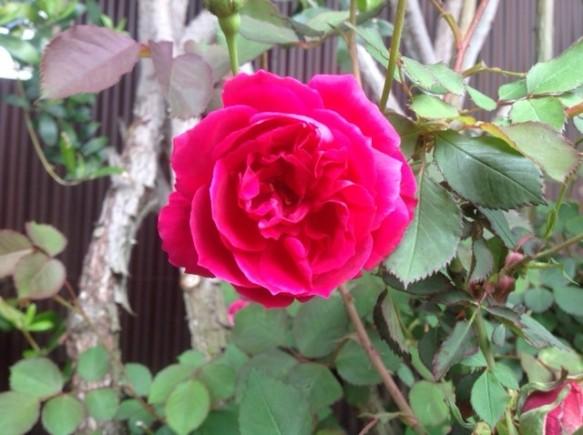 栗の里ローズガーデンの代表バラ開花! グルスアンテプリッツ!