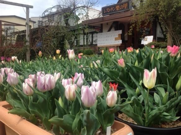 今年からの試み! チューリップ! 早咲き品種が咲き出し、色も鮮やかですよ!