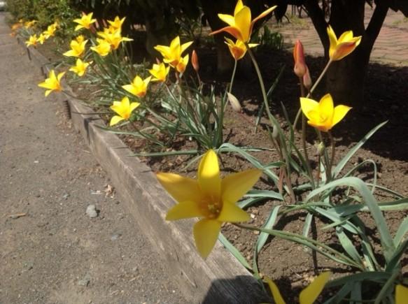 原種のチューリップも開花!