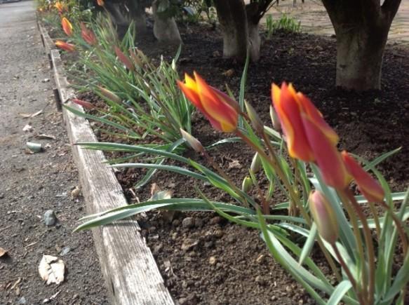 原種のチューリップが咲き出しました!