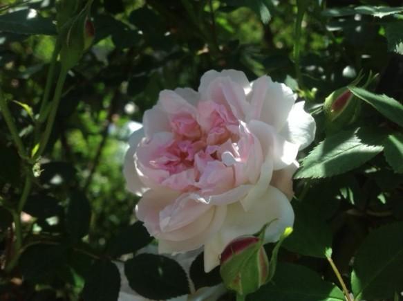 早咲き品種のロサキネンシスアルバが順調に開花しています!