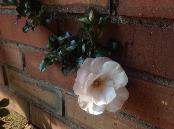 今年の1番花は、パールドリフトでした!