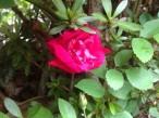 早咲き品種開花! ロサキネンシス!