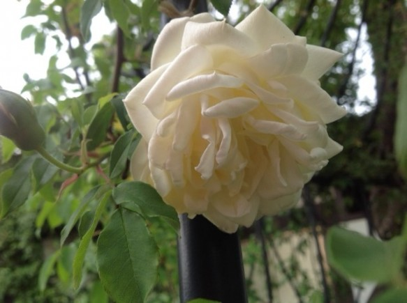 ラ・マルク! 純白バラ!